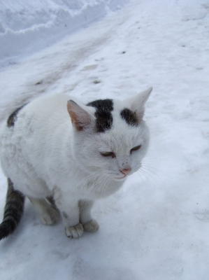 soku_08587.jpg :: 雪国のねこ 動物 哺乳類 猫 ネコ