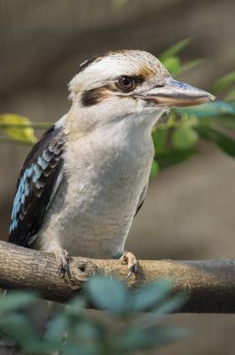 soku_08728.jpg :: 鳥 ワライカワセミ 上野動物園