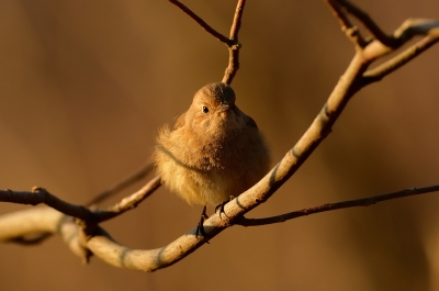 soku_08936.jpg :: 動物 鳥 野山の鳥 ジョウビタキ
