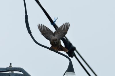 soku_08993.jpg :: 動物 野鳥 イソヒヨドリ