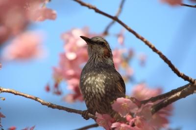 soku_09213.jpg :: 動物 鳥 ヒヨドリ by Kawazu