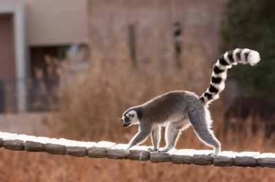 soku_09285.jpg :: 動物 哺乳類 猿 サル ワオキツネザル