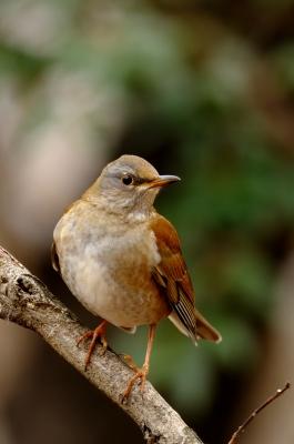 soku_09401.jpg :: 動物 鳥 野山の鳥 シロハラ