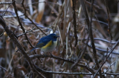 soku_09494.jpg :: 動物 鳥 野山の鳥 ルリビタキ