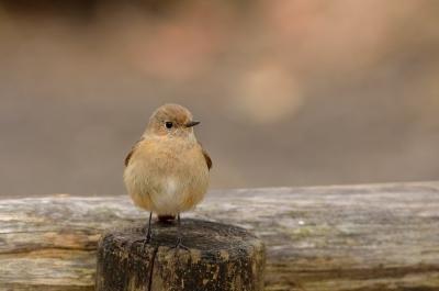 soku_09537.jpg :: 動物 鳥 野山の鳥 ジョウビタキ