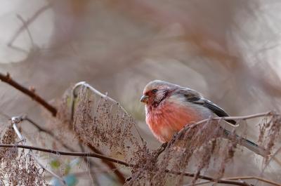 soku_09547.jpg :: 動物 鳥 野山の鳥 ベニマシコ