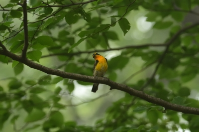 soku_09573.jpg :: 動物 鳥 野山の鳥 キビタキ