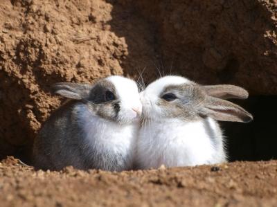 soku_09612.jpg :: 動物 哺乳類 兎 ウサギ