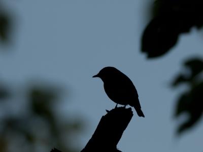 soku_09644.jpg :: 動物 鳥 野山の鳥 コサメビタキ