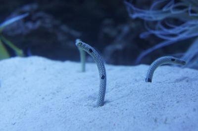soku_09746.jpg :: 動物 魚類 海水魚 チンアナゴ 水族館