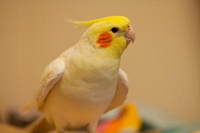 soku_09787.jpg :: 動物 鳥 オカメインコ