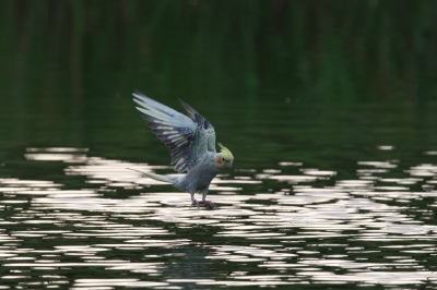 soku_09801.jpg :: オカメインコ 動物 鳥