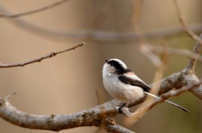 soku_09875.jpg :: 動物 鳥 野山の鳥 エナガ