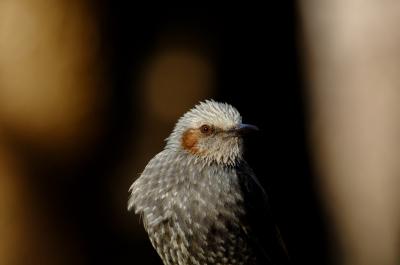 soku_09950.jpg :: 動物 鳥 ヒヨドリ