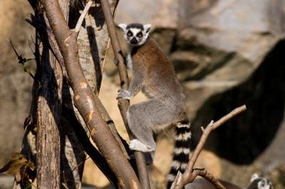 soku_10055.jpg :: 哺乳類 ワオキツネザル 動物園 のいち動物公園