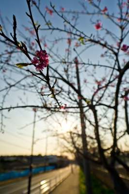 soku_10092.jpg :: 植物 樹木 枝 花 つぼみ