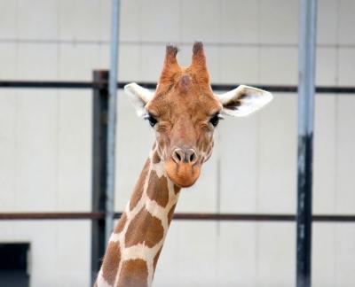 soku_10160.jpg :: 動物園 動物 哺乳類 キリン