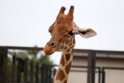soku_10161.jpg :: 動物園 動物 哺乳類 キリン