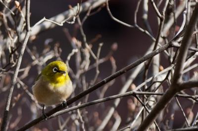 soku_10176.jpg :: 動物 鳥 野山の鳥 メジロ