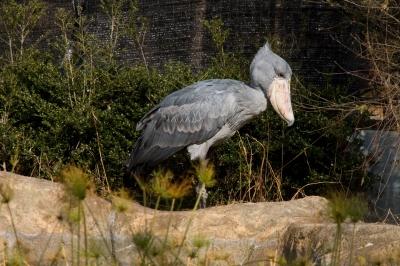 soku_10267.jpg :: 動物 鳥 ハシビロコウ のいち動物公園