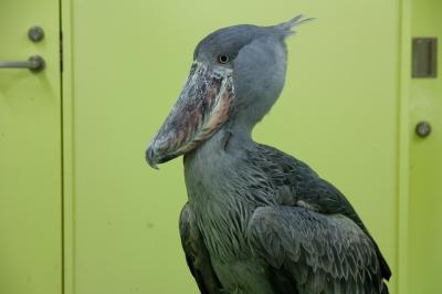 soku_10268.jpg :: 動物 鳥 ハシビロコウ のいち動物公園