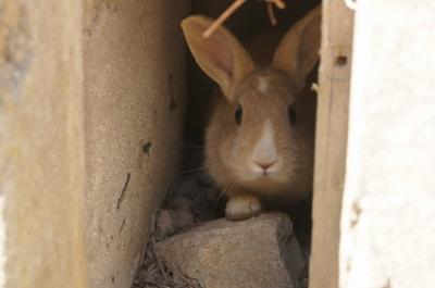 soku_10313.jpg :: 動物 哺乳類 兎 ウサギ