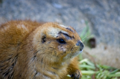 soku_10320.jpg :: 動物 プレーリードック のいち動物公園