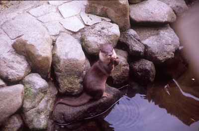 soku_10322.jpg :: 動物 哺乳類 ビーバー