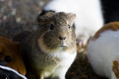 soku_10327.jpg :: 動物 モルモット のいち動物公園