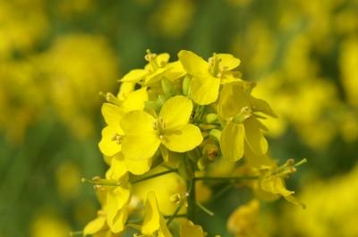 soku_10394.jpg :: 植物 花 菜の花 アブラナ