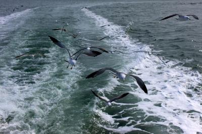 soku_10664.jpg :: 乗り物 交通 船 動物 鳥 鷗 カモメ ウミネコ