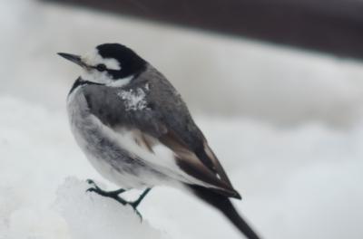 soku_10699.jpg :: 動物 鳥 ハクセキレイ