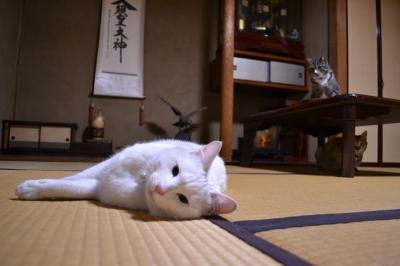 soku_10841.jpg :: 動物 哺乳類 猫 ネコ