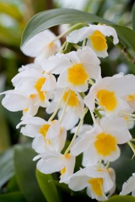 soku_10877.jpg :: 植物 花 蘭 ラン