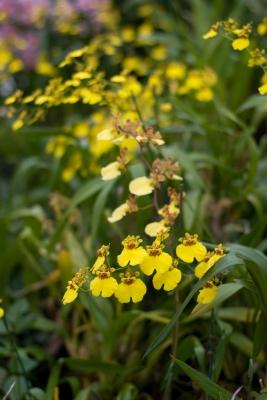 soku_10878.jpg :: 植物 花 蘭 ラン 黄色