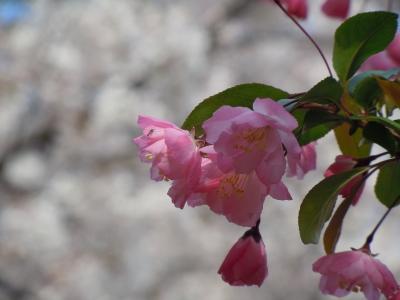 soku_10885.jpg :: 植物 花 桜 サクラ