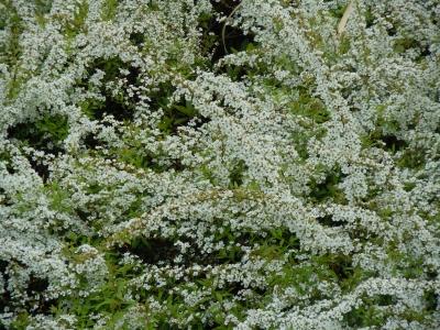soku_10886.jpg :: 植物 花 桜 サクラ 葉桜