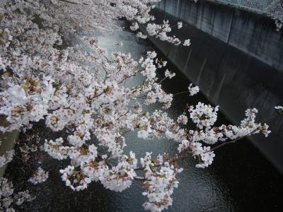 soku_10887.jpg :: 植物 花 桜 サクラ