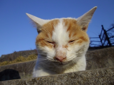 soku_10920.jpg :: 動物 哺乳類 猫 ネコ 眠いぉ