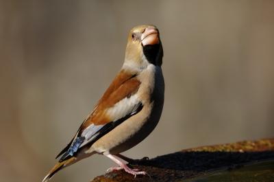 soku_11330.jpg :: 動物 鳥 野山の鳥 シメ