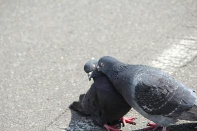 soku_11357.jpg :: 動物 鳥 鳩 ハト カップル