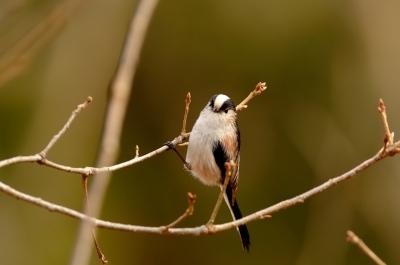 soku_11484.jpg :: 動物 鳥 野山の鳥 エナガ