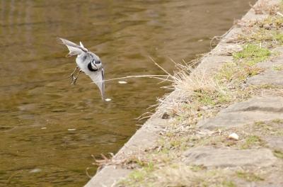 soku_11487.jpg :: 動物 鳥 ハクセキレイ