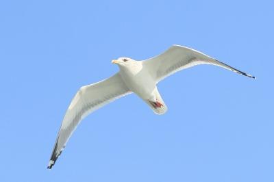 soku_11499.jpg :: シグマ APO 70-200mm F2.8 EX HSM 動物 鳥 鷗 カモメ セグロカモメ by Niigata 指摘頂いた方連絡取れませんでしょうか。