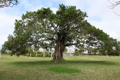 soku_11523.jpg :: 風景 自然 樹木 この木なんの木、気になる木
