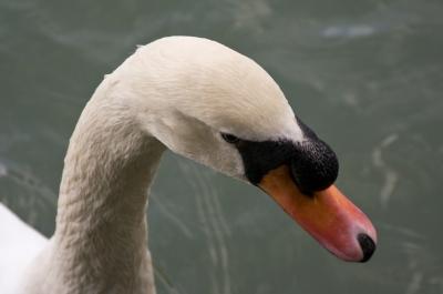 soku_11917.jpg :: 動物 鳥 ハクチョウ
