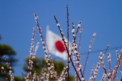 soku_11921.jpg :: 植物 花 梅 日の丸 日章旗 国旗