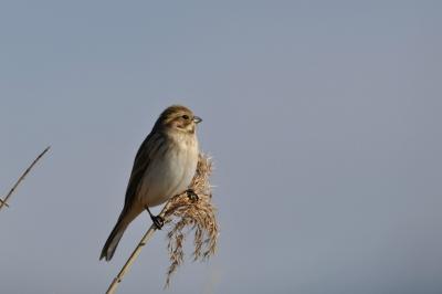 soku_12059.jpg :: 動物 鳥 野山の鳥 オオジュリン