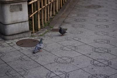 soku_12160.jpg :: 動物 鳥 鳩 ハト