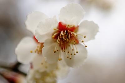soku_12275.jpg :: 植物 花 梅 ウメ